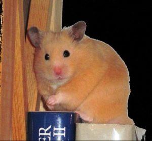 Goldhamster sitzt im Bücherregal
