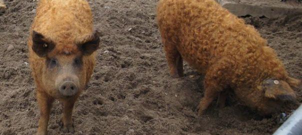Foto eines roten Mangalitza-Wollschweins